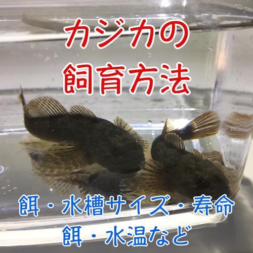 カジカの飼育方法